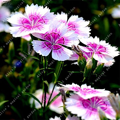 200PCS Pink Dianthus Seeds Carnation Seeds Perennial Flowers Potted Plants White Sweet William Flower Bonsai (Sweet William Perennial)