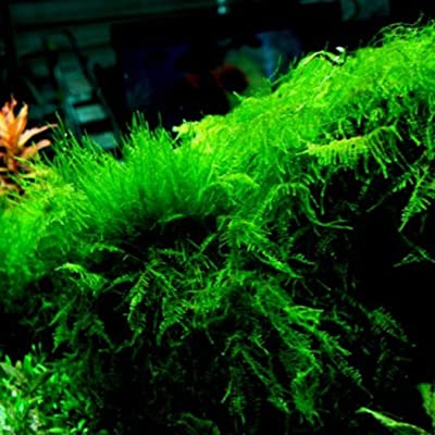 HOTUEEN Aquatic Plant Seeds Water Grass Seeds Ornamental Plant Seeds Indoor Plant Seeds Aquatic Plants : Garden & Outdoor