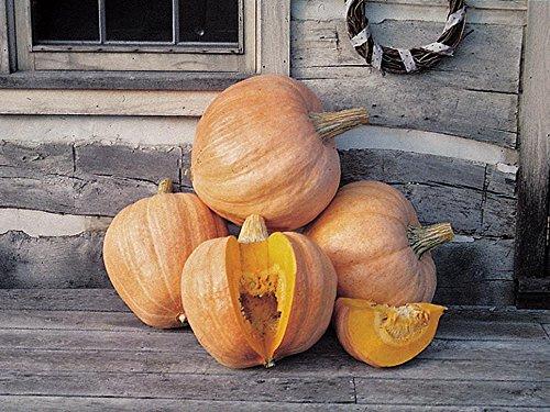 Amish Pumpkin Pie - 10 Seeds Amish pie Pumpkin Seeds