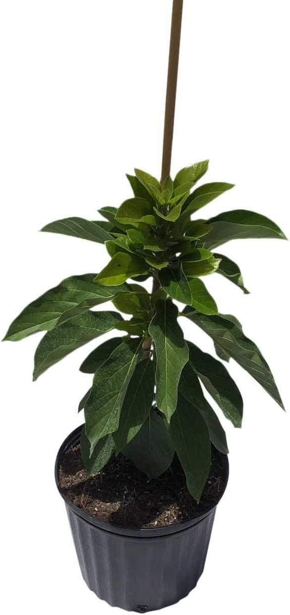 Amazon Com Day Avocado Tree Cold Hardy Grafted 3 Gal Container From Florida Garden Outdoor
