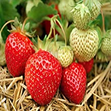 Seascape Beauty Everbearing 10 Live Strawberry Plants, NON GMO,