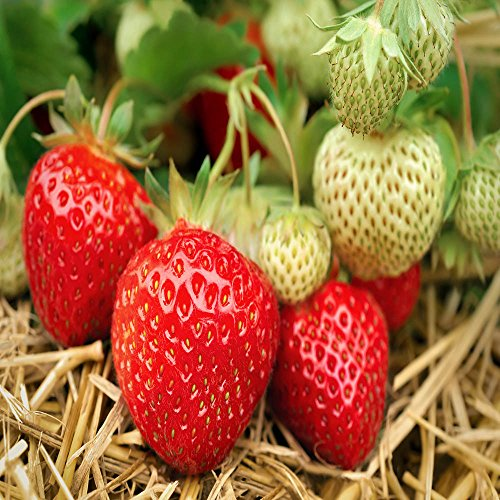 Seascape Beauty Everbearing 25 Live Strawberry Plants, NON GMO, by Hand Picked Nursery