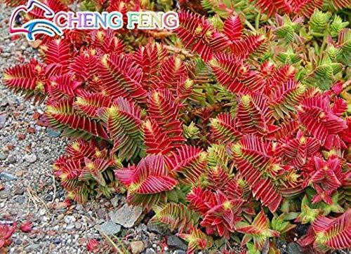 shopmeeko 10pcs crassula capitella thyrsiflora red Pagoda Succulent Cactus Seeds jatropha Tree Herbs Plants Seeds Mini potpi: White