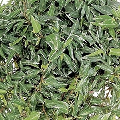 "Variegated ""Little Hermann"" Hedera Ivy Starter Plant : Garden & Outdoor"