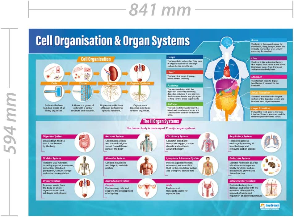 Gloss Paper measuring 850mm x 594mm A1 Education Charts by Daydream Education | Science Charts for the Classroom Cell Organization /& Organ Systems Science Posters