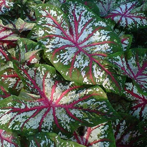 5 Caladium Tapestry's (Bulbs) Great color in the shade. for pots,Elephant Ears
