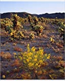 Photographic Print of USA; California; Wildflowers and Cholla Cacti in Joshua Tree National Park