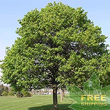 Amazoncom Norway Maple Acer Platanoides 20 Seeds Garden