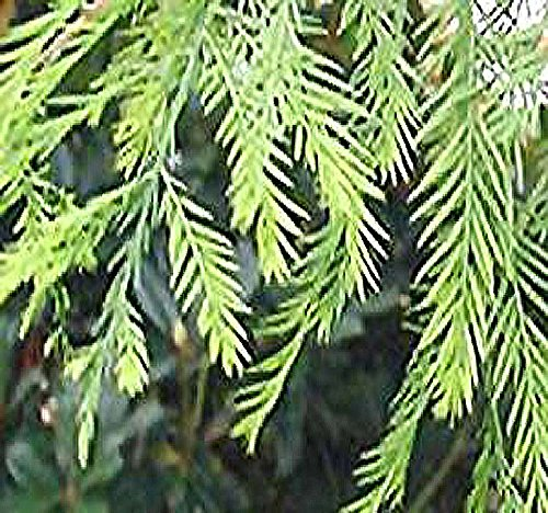 10 x NORTHERN Bald Cypress, Taxodium distichum Northern, Tree Seeds AKA Swamp Cypress - Fast Growing Long Lived - FRESH SEEDS - Cold Hardy Zones 4-8 - By MySeeds.Co (5 Packs)