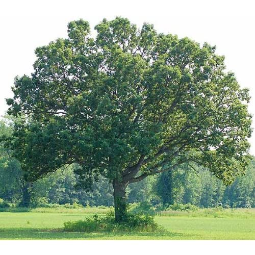 White Oak Tree - Bare Root - Healthy Plant - 3 pack