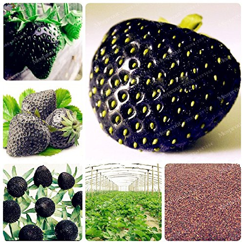 - Rare Black Strawberry Seeds Healthy Fresh Exotic Seeds Good Taste Fruits Easy Care Bonsai Plants for Home Garden 500Seeds/Pack