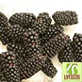 Liveseeds - Giant Blackberry Seeds - up to 3 inch long Sweet and Juicy 12 Finest Seeds