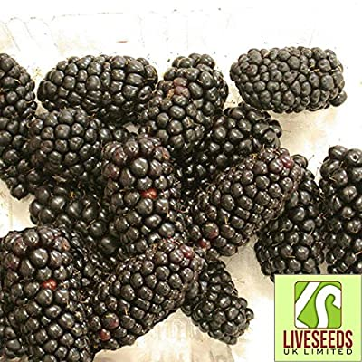 Liveseeds - Giant Blackberry Seeds - up to 3 inch long Sweet and Juicy 12 Finest Seeds : Garden & Outdoor