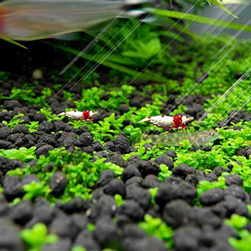Homedeco aquarium glossostigma hemianthus callitrichoides for Easy aquatic plants