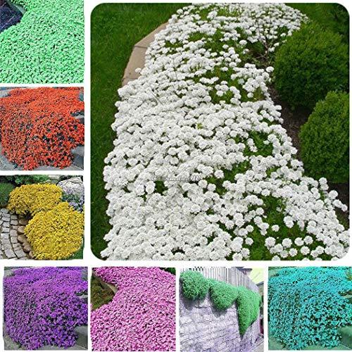 Casavidas Seeds Package: #08: 100Pcs Rock Cress Flower Cascade Mix Seeds Rockery Flower New
