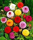 Dahlia Pompon Mix Seeds Flowers Ball Variabilis Nescio Asteraceae Blossom up to 50 Seeds
