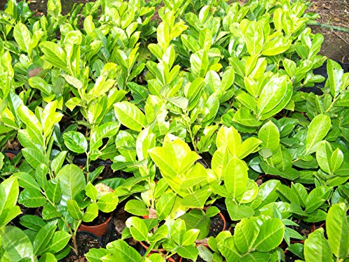Portal Cool Seeds Package: Laurel Seedss 30-50 cm, in 9 cm Pot'S Evergreen Hedging Shrubs Laurels