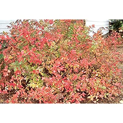 (1 Gallon) Gold Flame Spirea, Shrub Features Attractive Bronze-tinged New Growth in Spring, Maturing to Soft Yellow-Green : Garden & Outdoor