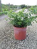 Jasminum multiflorum, Jasmine Pubescens, Downy Jasmine - 3 Gallon Live Plant - 4 pack