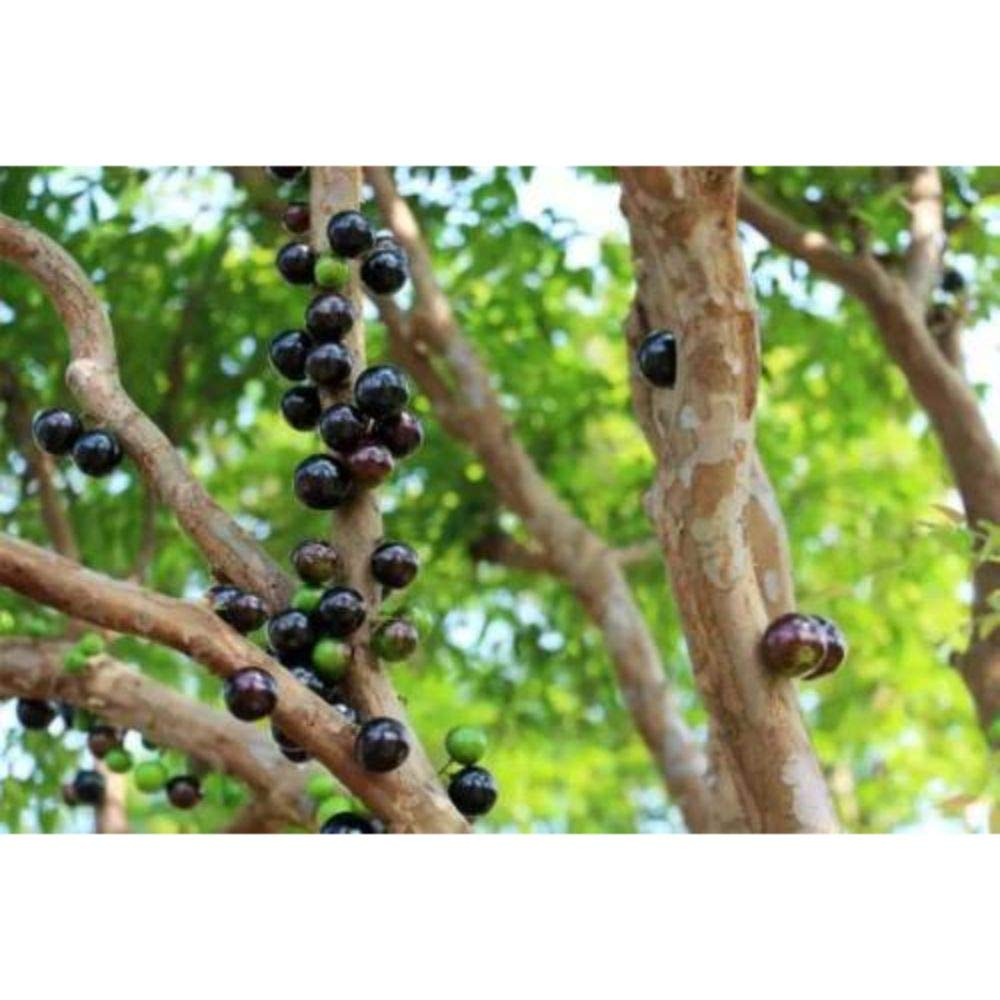 Myrciaria Cauliflora Tropical Fruit Tree 30-36 Inch Height in 5 Gallon Pot #BS1 by iniloplant (Image #1)