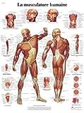 Planche Anatomique la Musculation