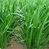 200 Chinese Chives Organic Green Non-gm Seeds