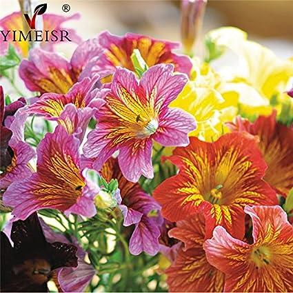 Amazon com : 200pcs/bag Salpiglossis sinuata Seeds Mixed color Chile