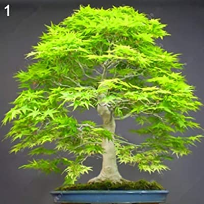 Ywbtuechars Maple Tree Seeds, 20Pcs Maple Tree Seeds Ornamental Plant Home Garden Bonsai Yard Street Decor, Can Survive in Any Soil Environment - 1# Maple Tree Seeds : Garden & Outdoor