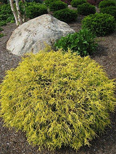 "Golden Mop False Cypress -Chamaecyparis- Outside/Bonsai - 4"" Pot"
