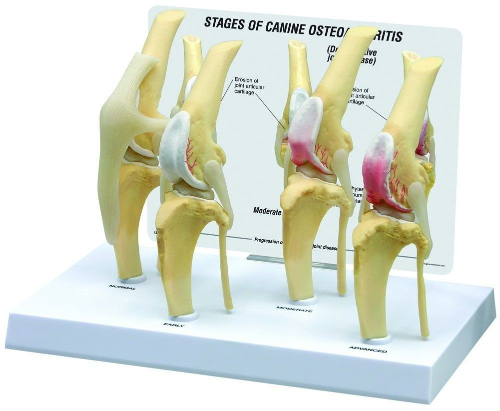 Amazon Caninedog 4 Stage Knee Arthritis Anatomy Model 9051