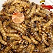 300ct Live Superworms, Feed Reptile, Birds, Fishing Best Bait (Free Shipping)