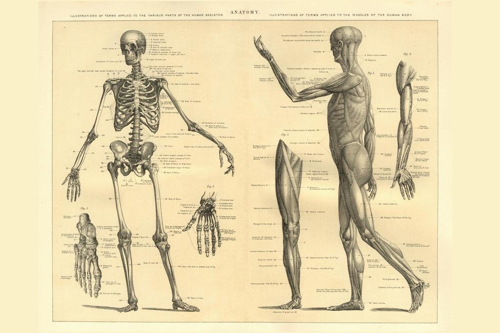 Amazon Human Anatomy Skeleton And Muscles Of The Body