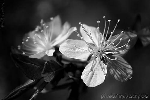 Amazon Com Cherry Tree Blossoms Black White Closeup Of