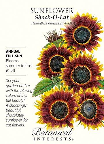 Shock-O-Lat Sunflower - 10 (Botanical Interests Sunflower)