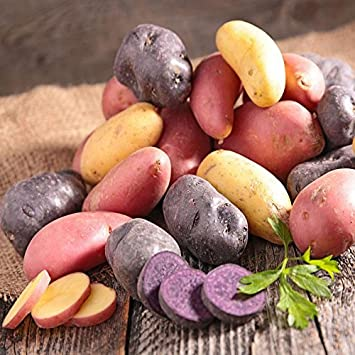 Organic Potato Medley Mix   10 Seed Potatoes Mixed Colors Red, Purple And  Yellow!