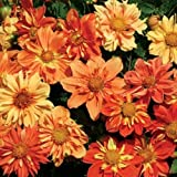 30+ Sunny Raggae Collarette Dahlia Flower Seed Mix Annual