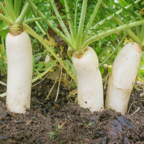 (Outsidepride Daikon Radish Cover Crop Seed - 10 lbs)