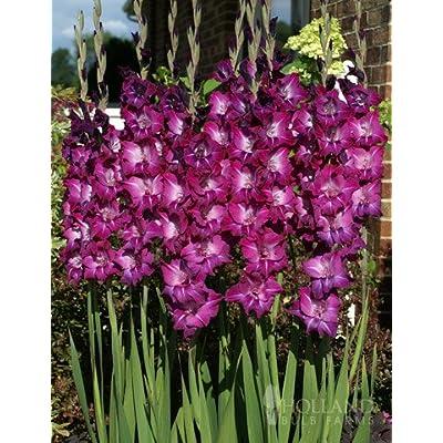 Purple Gladiolus Value Bag : Garden & Outdoor