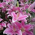 50pcs Pink Rare Lily Flower Seeds Planting Flower Lilium Perfume Garden Decor