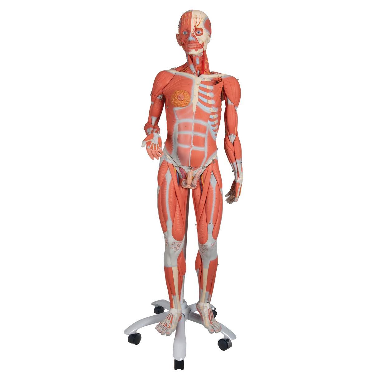 3B Scientific B50 45 Part 3 4 LifeSize Dual Gender Muscle Figure Model, 54.3Inch X 19.7Inch X 12.6Inch