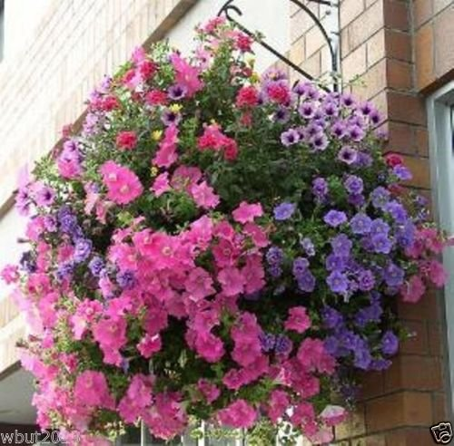 PETUNIA Flowers mix (500 Seeds) Splendid in hanging baskets and containers.