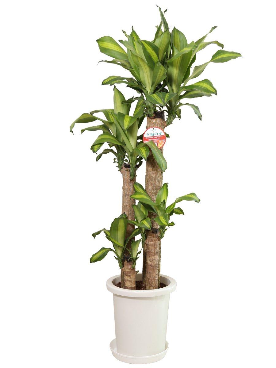 観葉植物 幸福の木(ドラセナ)8号プラスチック鉢 B00L8V5CKI