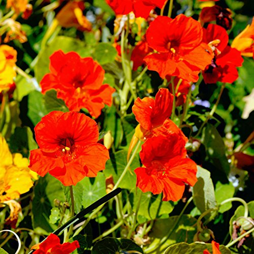 Nasturtium Flower Garden Seeds - Jewel Mix - 5 Lb - Annual Flower Gardening Seeds - Tropaeolum majus by Mountain Valley Seed Company