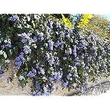 Exoticflora Thunbergia Grandiflora (Blue Thunbergia) creeper & Climber(Heatlhy Live Plant 1)