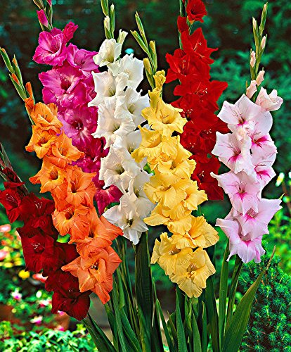 Gate Garden Mixed Gladiolus Flower Bulbs Set Of 8 Amazonin