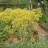 Woad Seeds (Isatis tinctoria) 20+ Rare Dye Plant Medicinal Herb Seeds