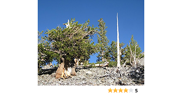 SGardenBay7 Bristlecone Pine Tree Seeds Great Basin Pinus Longaeva Seeds For Planting Get 5 Seeds