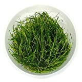 SubstrateSource Eleocharis sp. Dwarf Hairgrass Live Aquarium Plant - Tissue Culture Cup