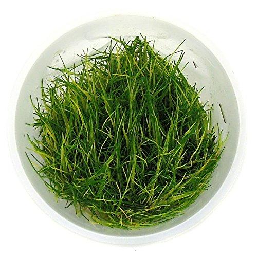 SubstrateSource Eleocharis sp. Dwarf Hairgrass Live Aquarium Plant - Tissue Culture Cup by SubstrateSource