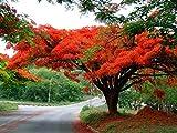 10 Seeds Delonix regia Flamboyant, Royal Poinciana Ornamental Tree
